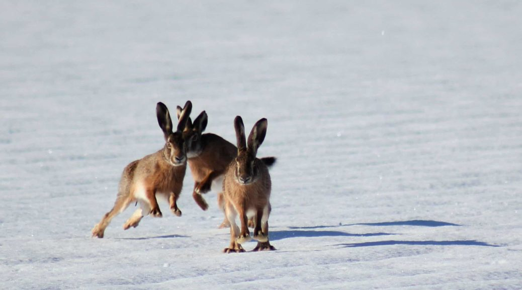 Easter bunnies in the snow